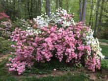 a picture of an azalea bush with pink flowers in the foreground and white flowers in the background